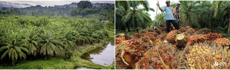 oil palm production in Brazil