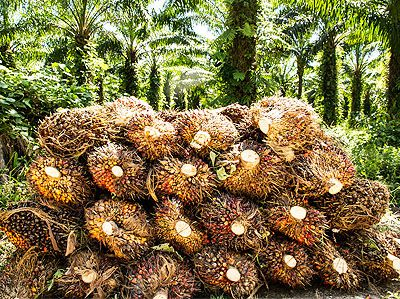 palm oil fruit bunches choosing